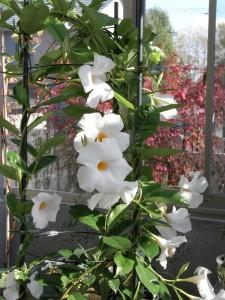 温室には南国の花が似合います