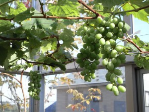 ブドウが実っています。