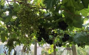 20160607_grape