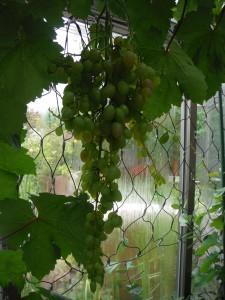 20160625_grape2