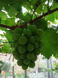 20160625_grape3
