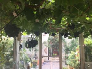 3471_grape